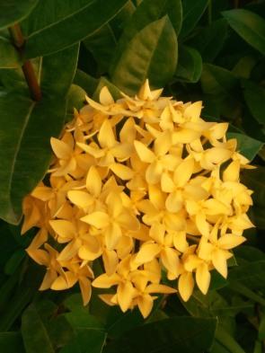 Ixora: floresce em bouquets no outono.
