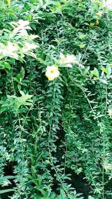 Flor do sítio Werneck.