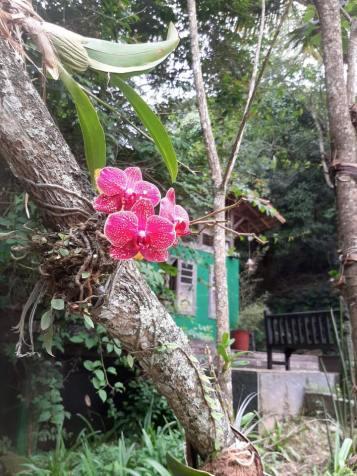 Orquídea do Jardim Uaná Etê.