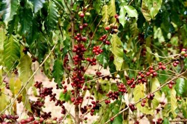 Pé de café na Fazenda Alliança Agroecológica.